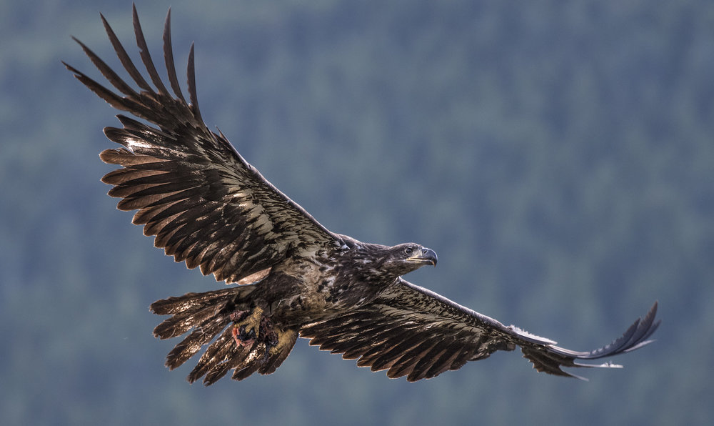 best Canadian bald eagle photography workshops