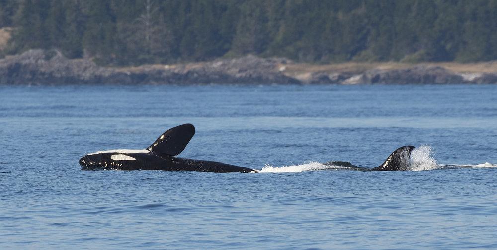 Orca roll.jpg