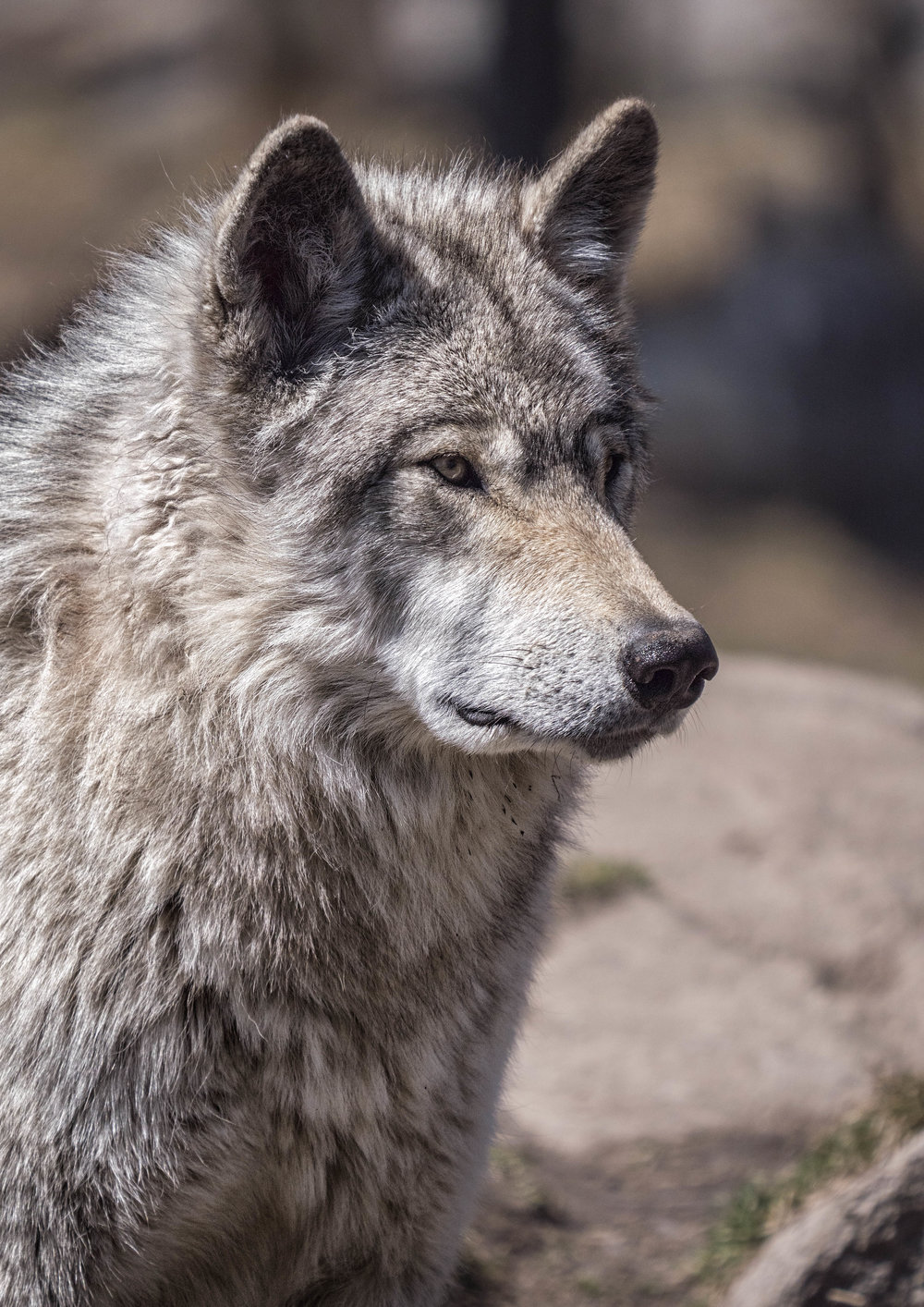 wolf photography workshops