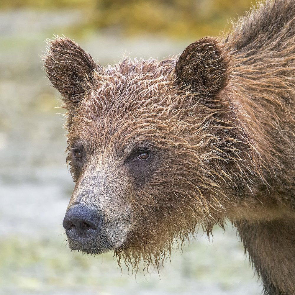 Grizzly Bear Photography workshops