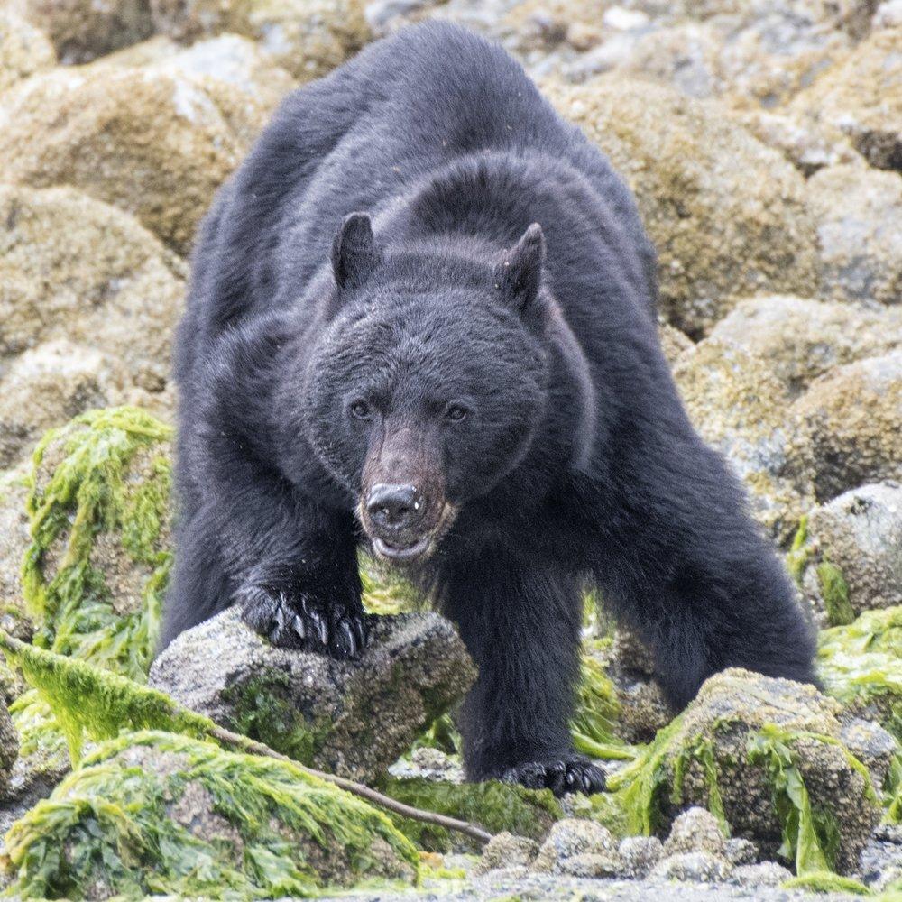 Black bear photography workshops