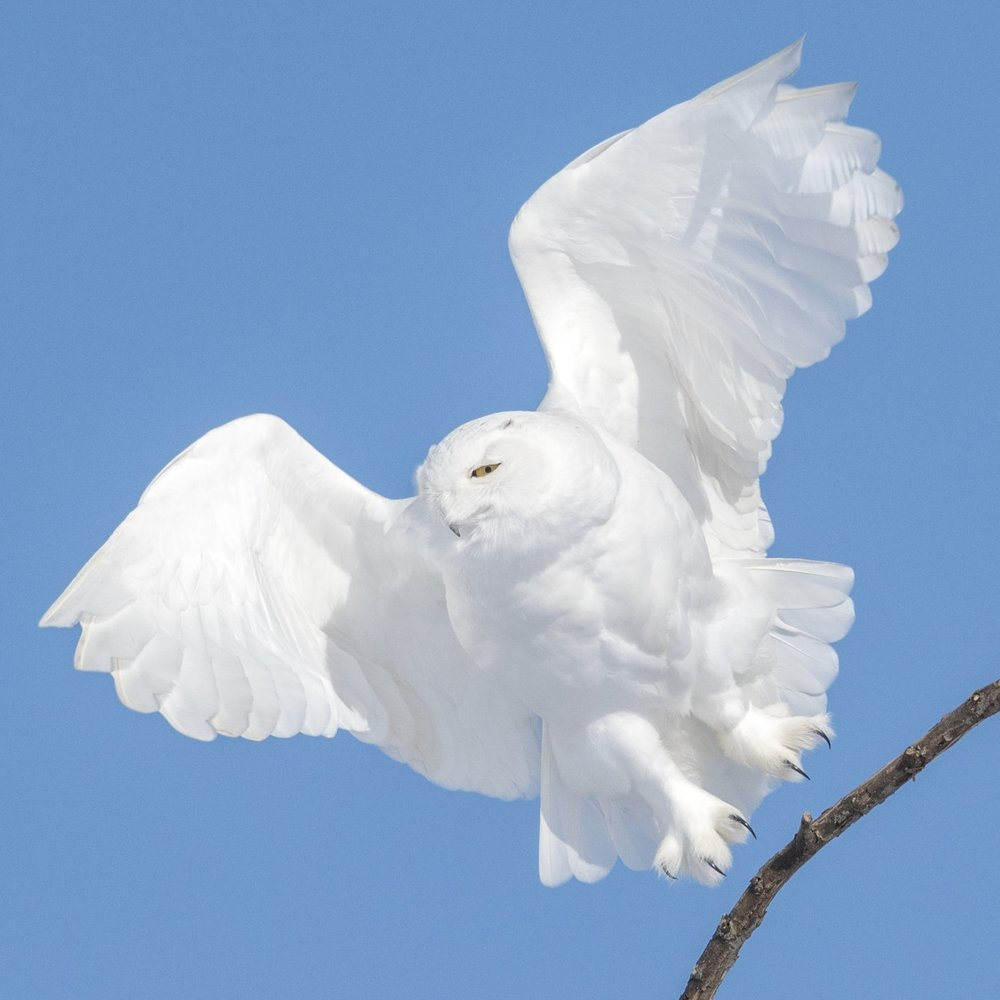 Snowy Owl Photography workshops North of 49 Photography