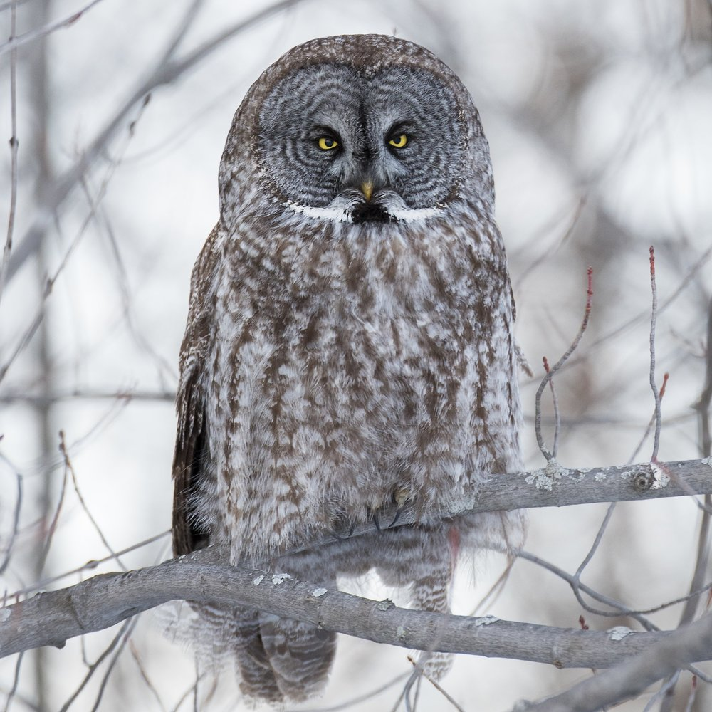 Great grey Owl photography workshops North of 49 photography workshops