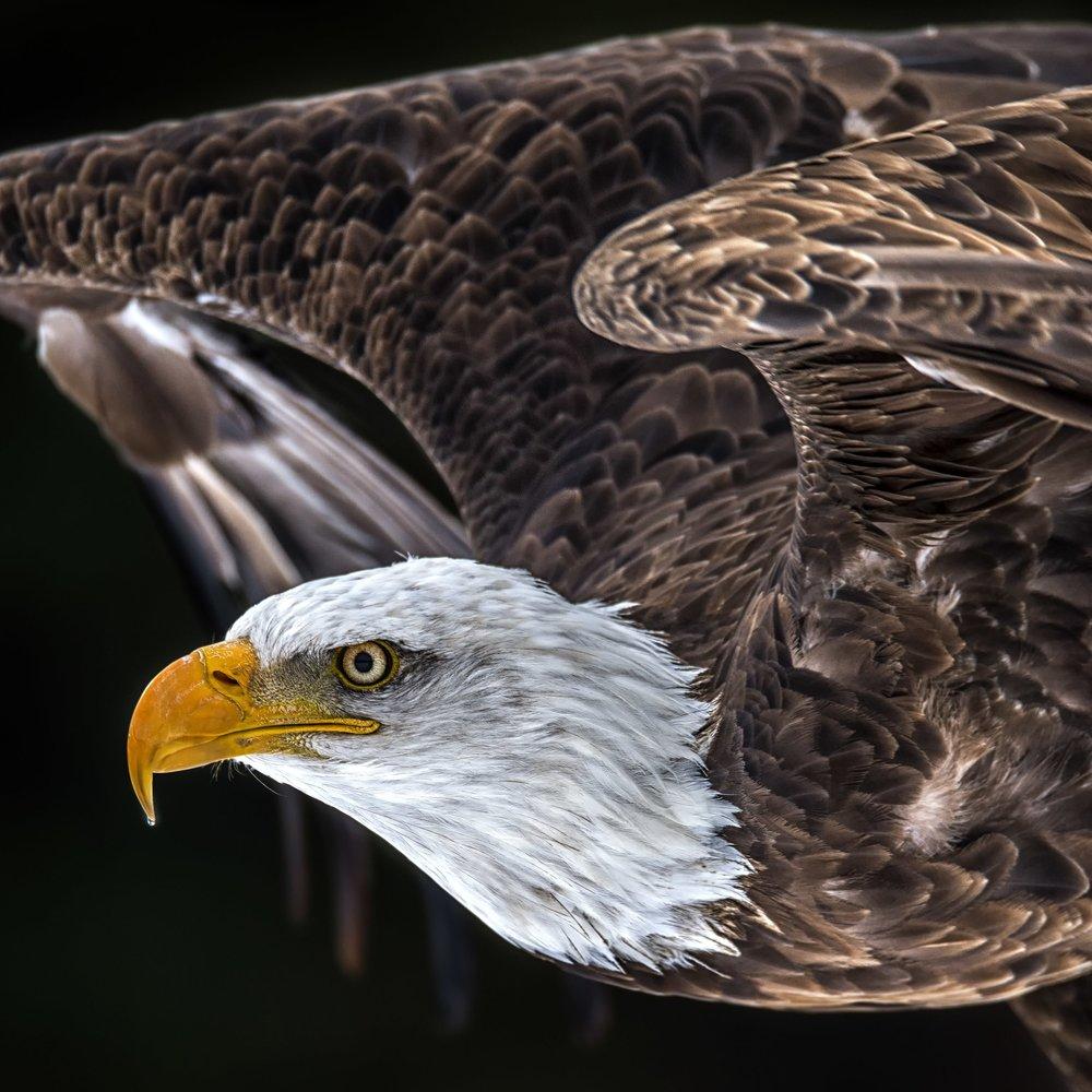 Bald Eagle Photography Workshops