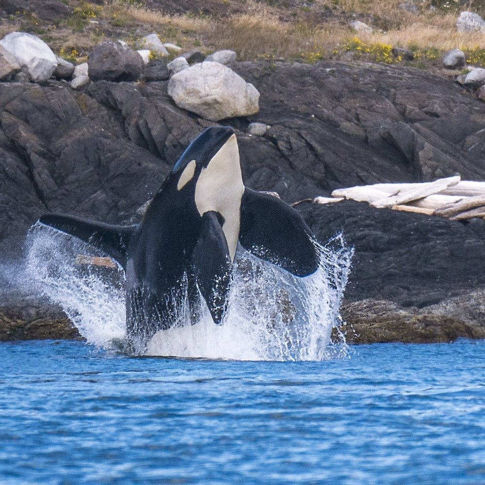 breaching orca photography workshops