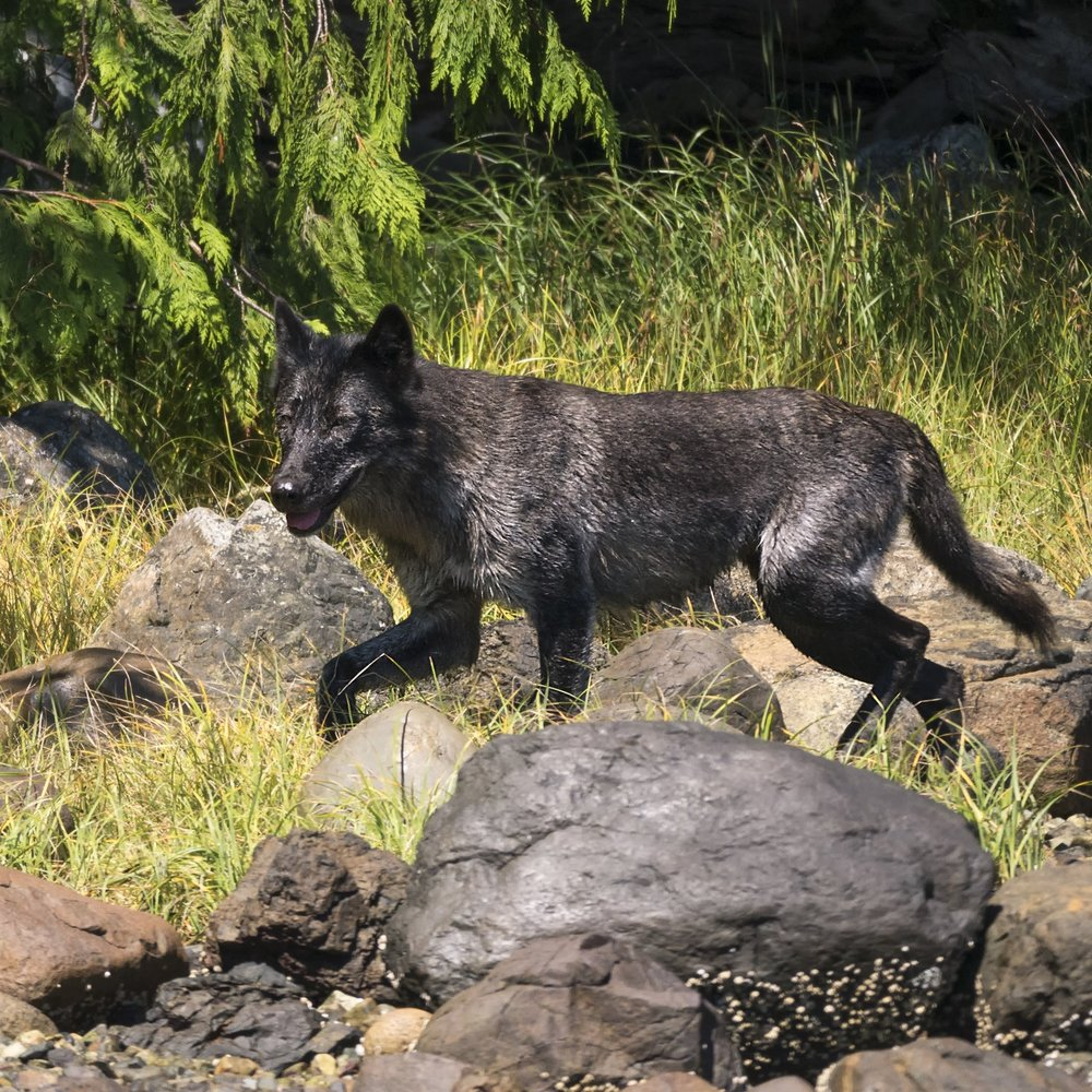 Eastern wolf on the prowl G85.jpg