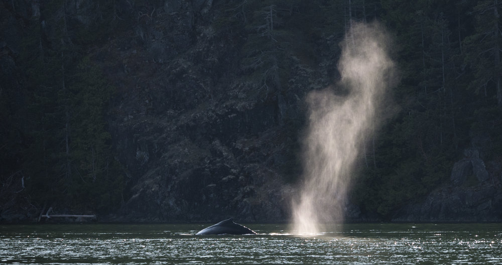 Humpback whale blow off