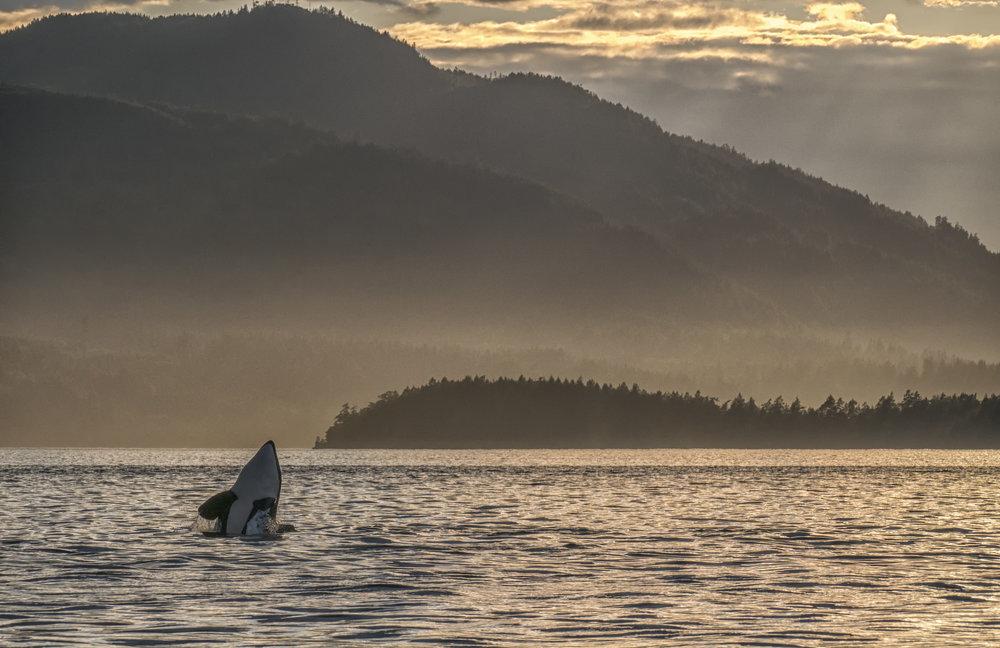 Orca whale spyhop
