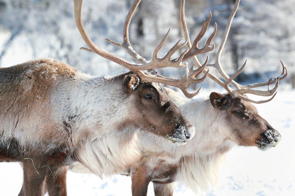 caribou-35669224.jpg