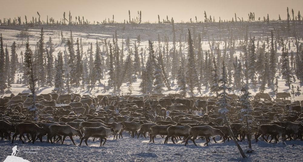 reindeer-sea-2-copy.jpg