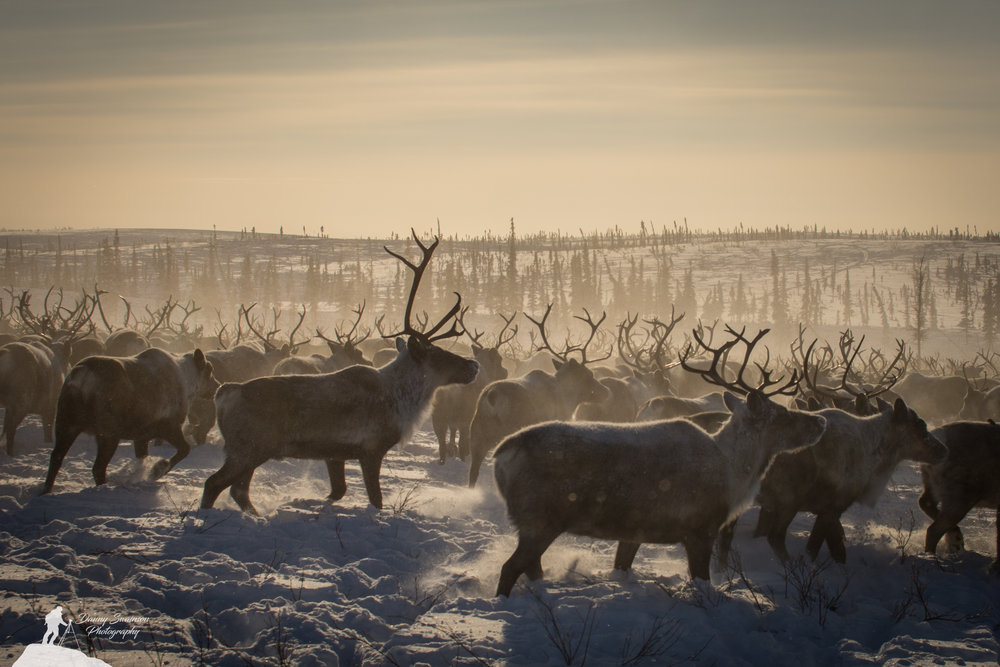 Northwest Territories Reindeer Migration