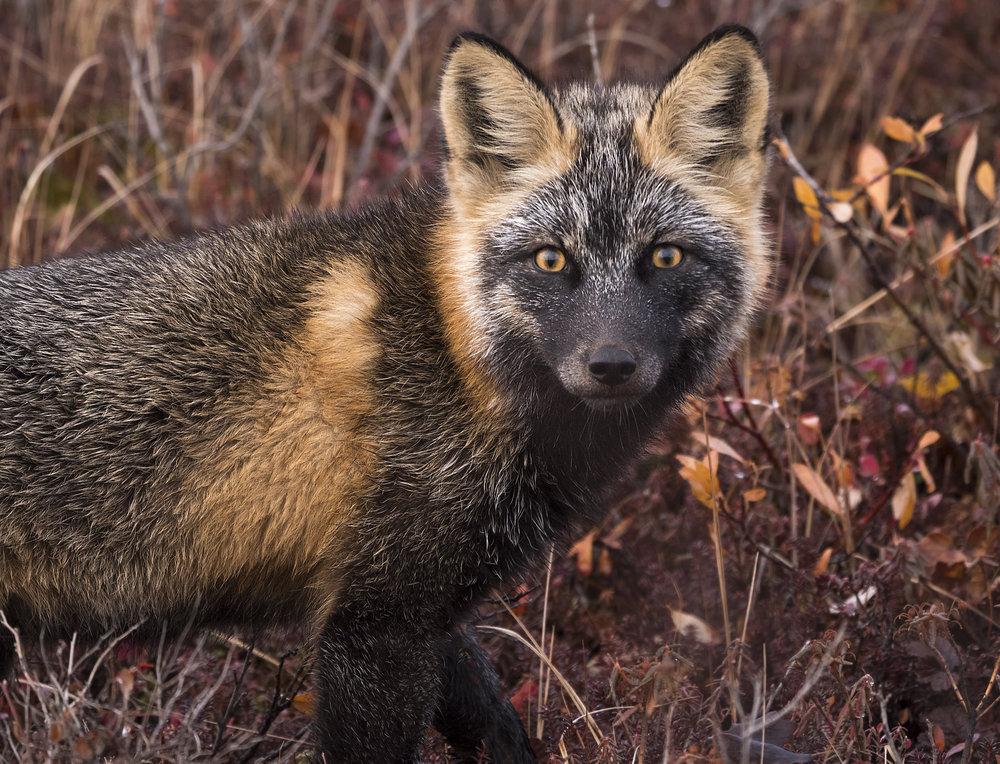 cross fox in Yukon Chris Pepper .jpg