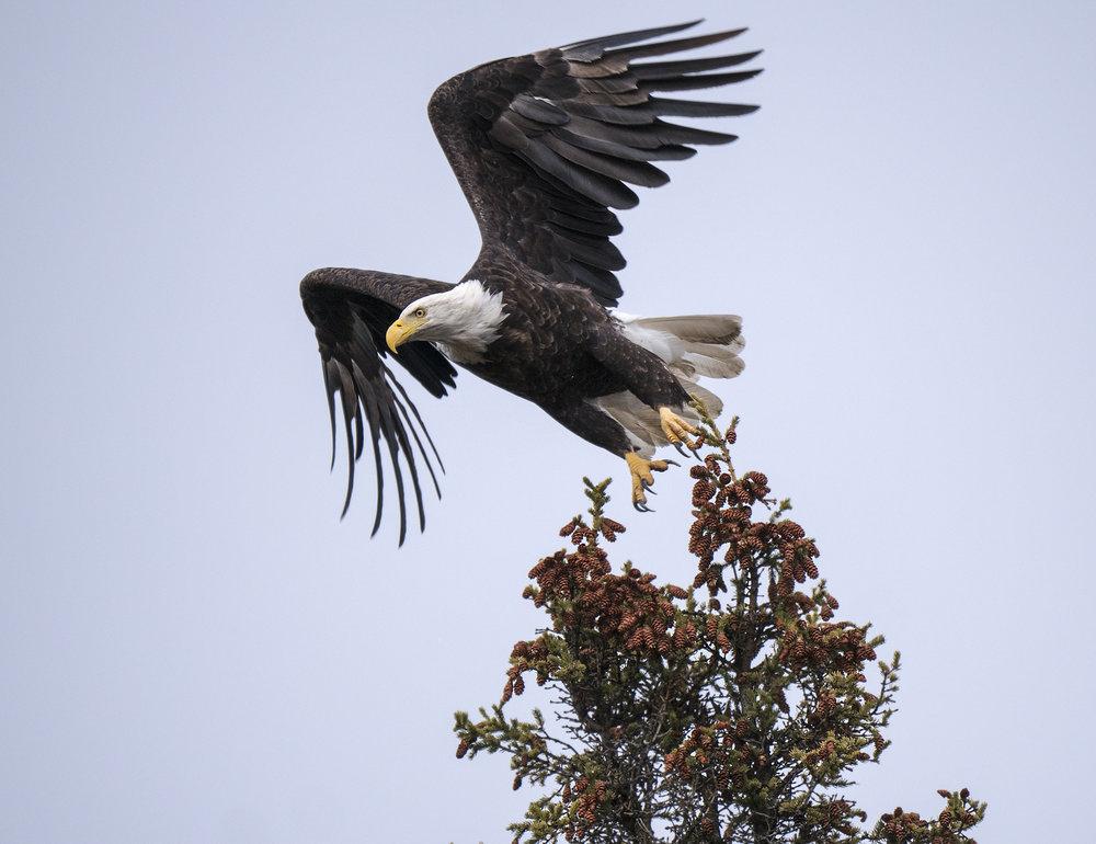 Bald Eagle Yukon photo tour Chris Pepper