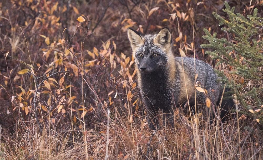 cross fox wide .jpg