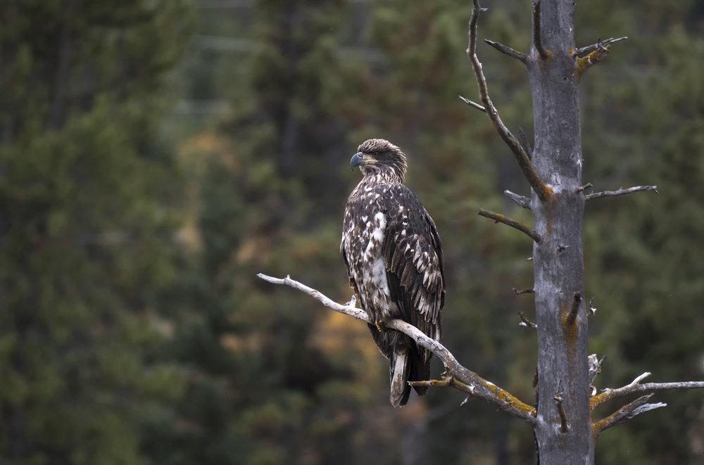 Juvi eagle .jpg