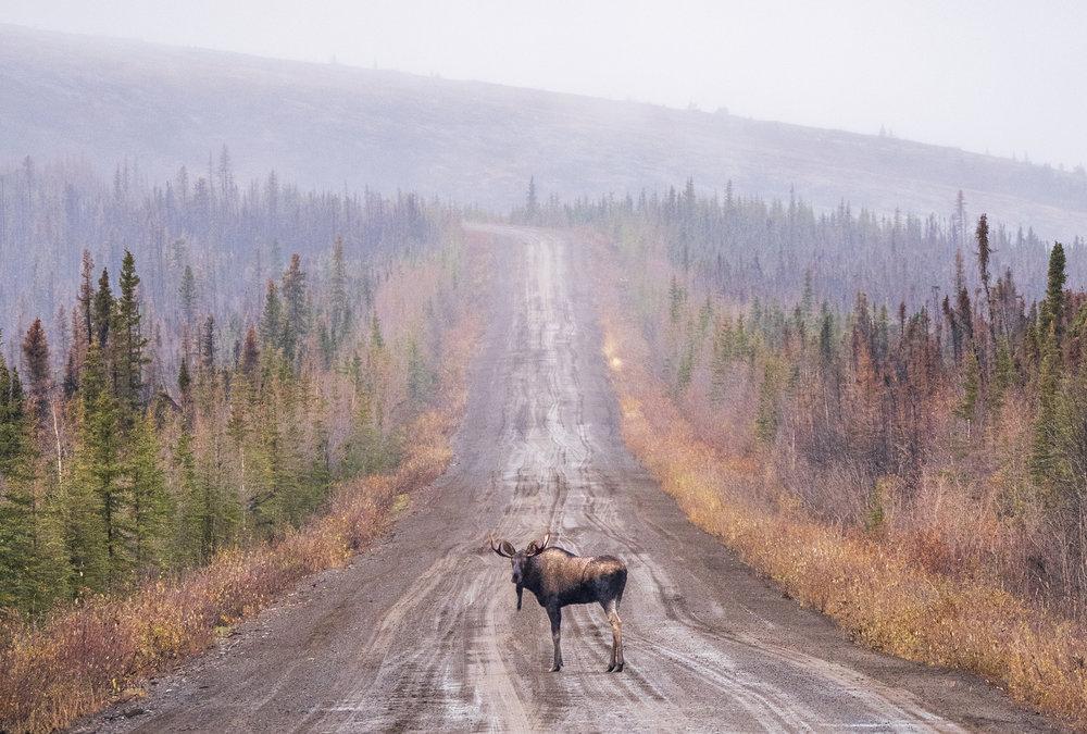 Best of Yukon Moose on the Dempster Hihgway.jpg
