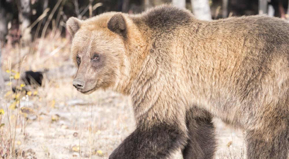 Grizzly bear look back carcross .jpg