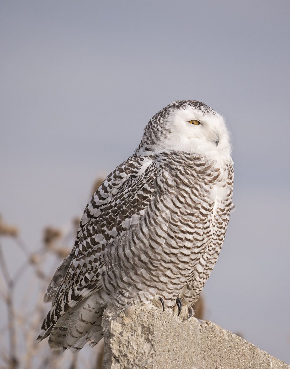 "Snowy Owl - ""The White Ghost""We are lucky to see as many Snowy Owls as we do in Ontario. Their small golden yellow eyes will captivate you as they look out over their fields. To see one in the wild is an exhilarating feeling, lets make that happen for you."