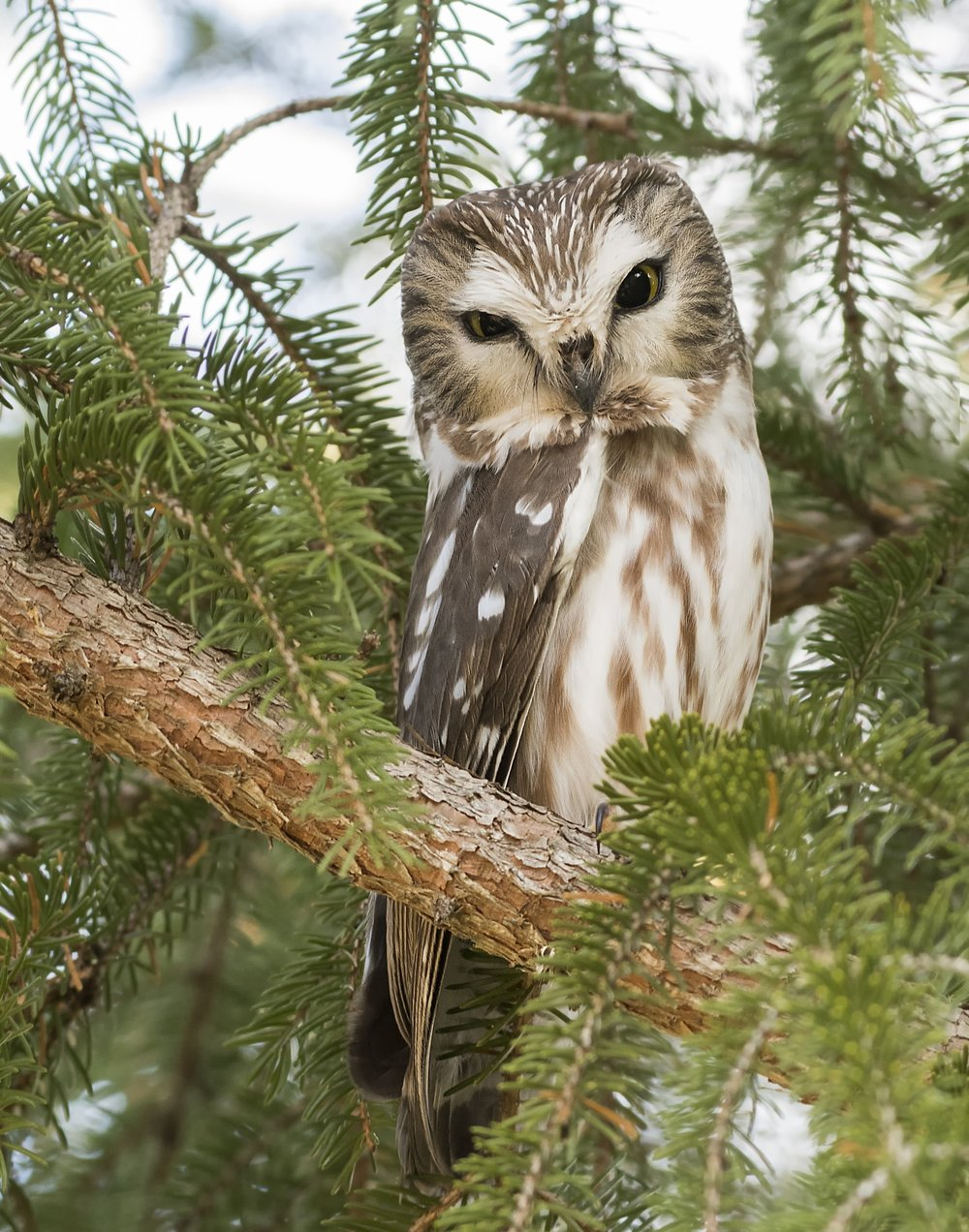 Saw Whet Owl - This little owl is not the easiest owl to find. They are about the size of an iPhone and blend into their surroundings really well. I must admit Saw Whets are about the cutest owl out there.