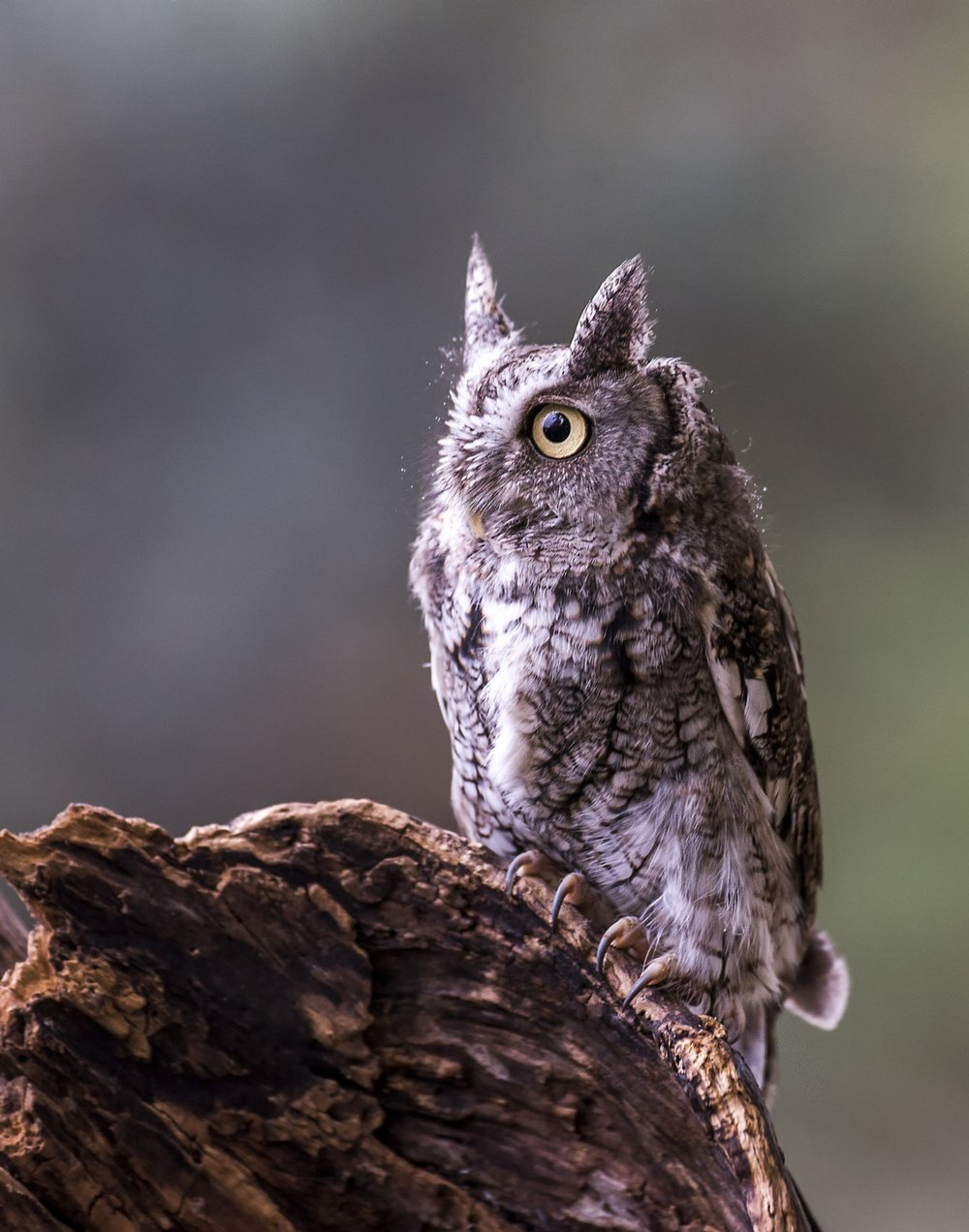 Screech Owl - The Screech Owl is another small owl, timing is key to see one. I know of many trees these guys reside in, lets hope for a sunny day as thats the best time to see them.