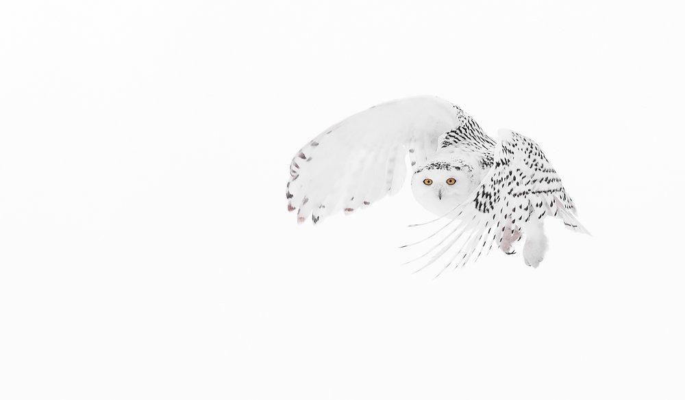 Snowy owl curl copy.jpg