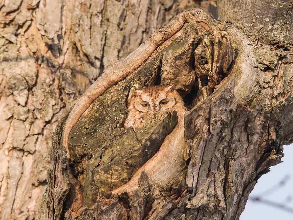 red morph screech owl.jpg