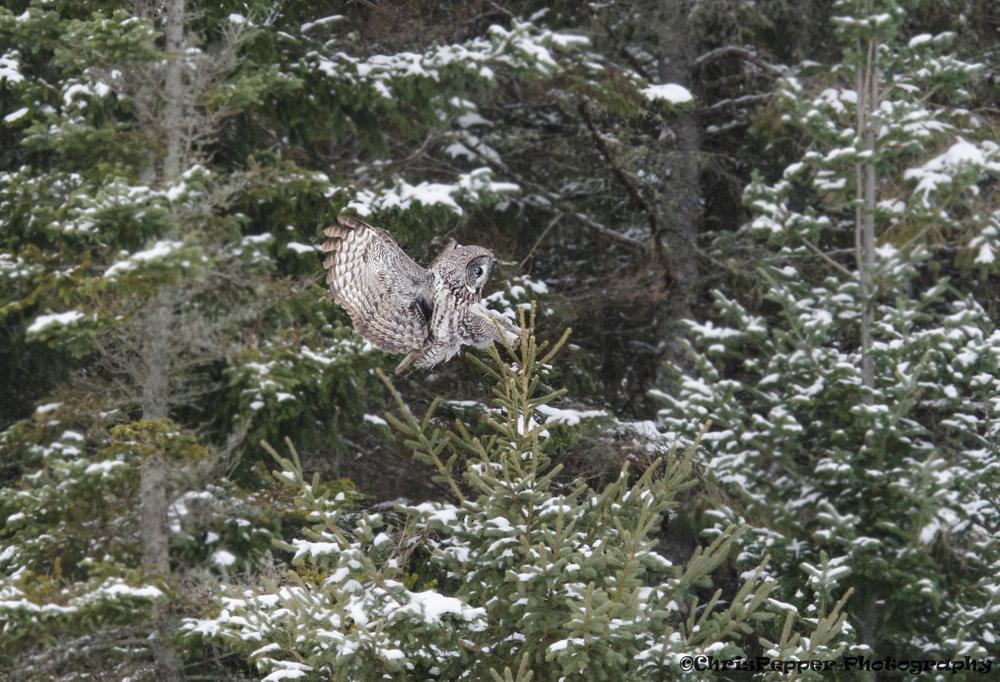 Great gray owl.jpg