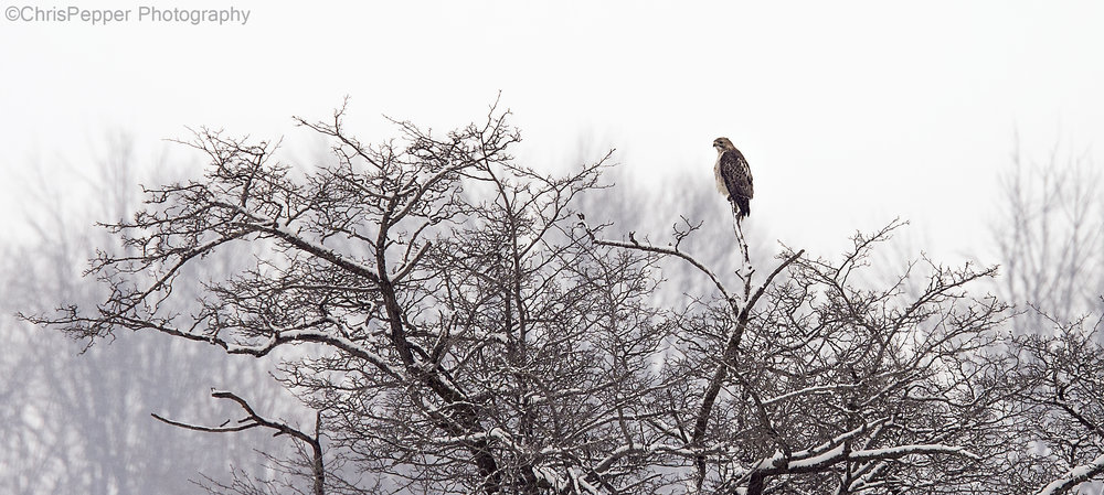 hawk in a tree.jpg