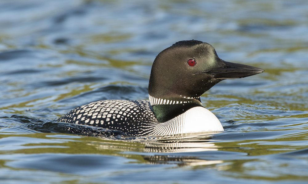 Common Loon Chris Pepper