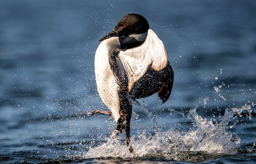 Territorial battle pose Common Loon