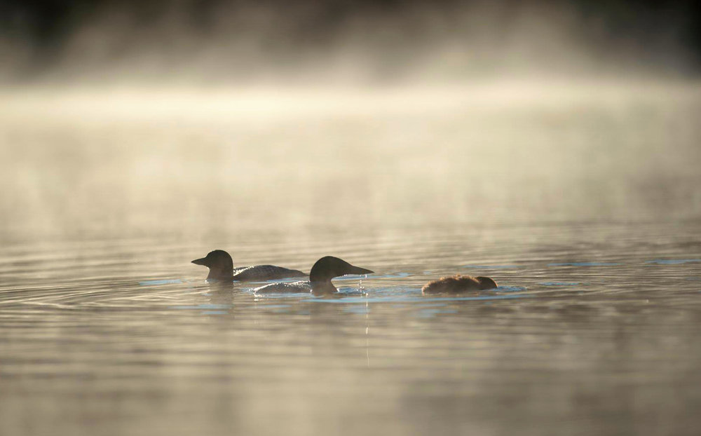 Common loons in the fog