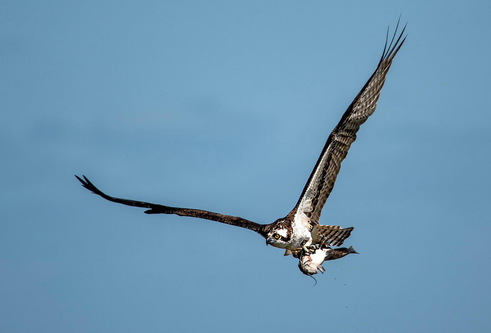 Osprey flying over the lake