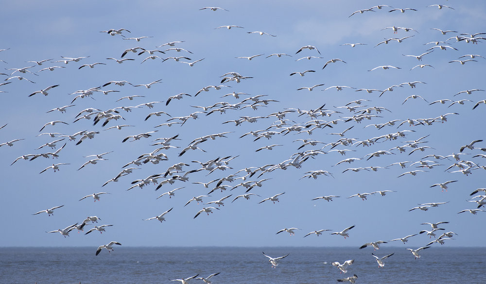 Snow geese on the delta .jpg