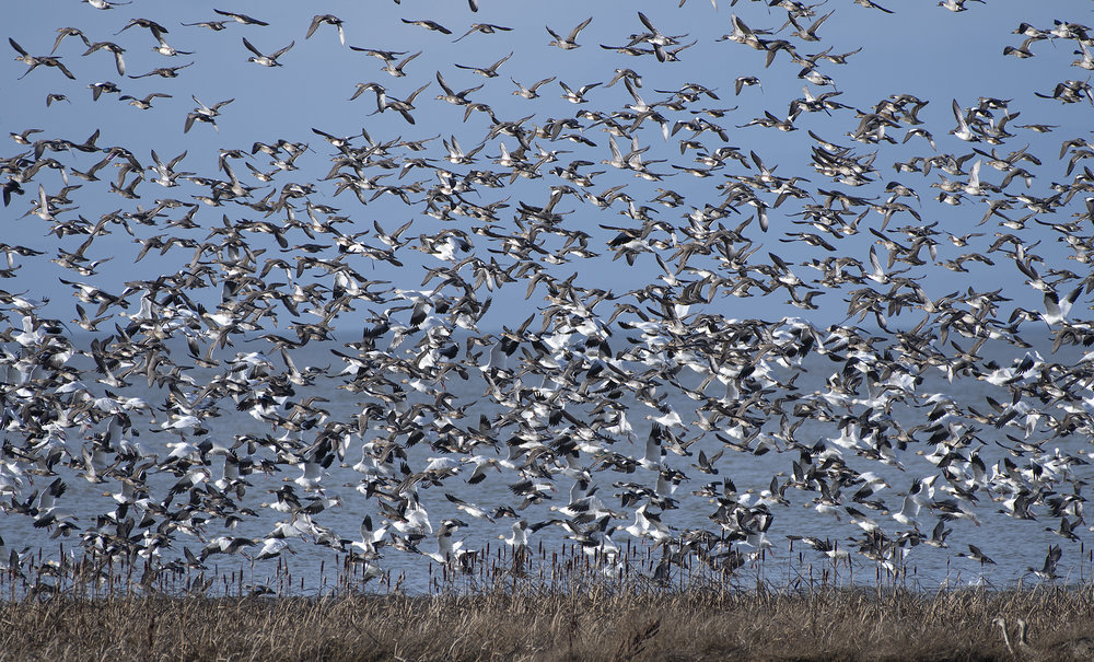 mallards pintail widgeon snow geese.jpg