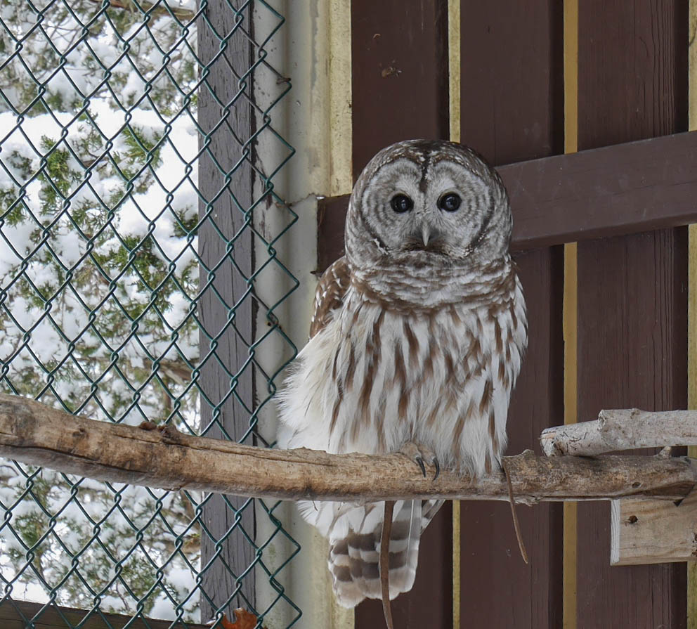 Shakespeare the Barred Owl
