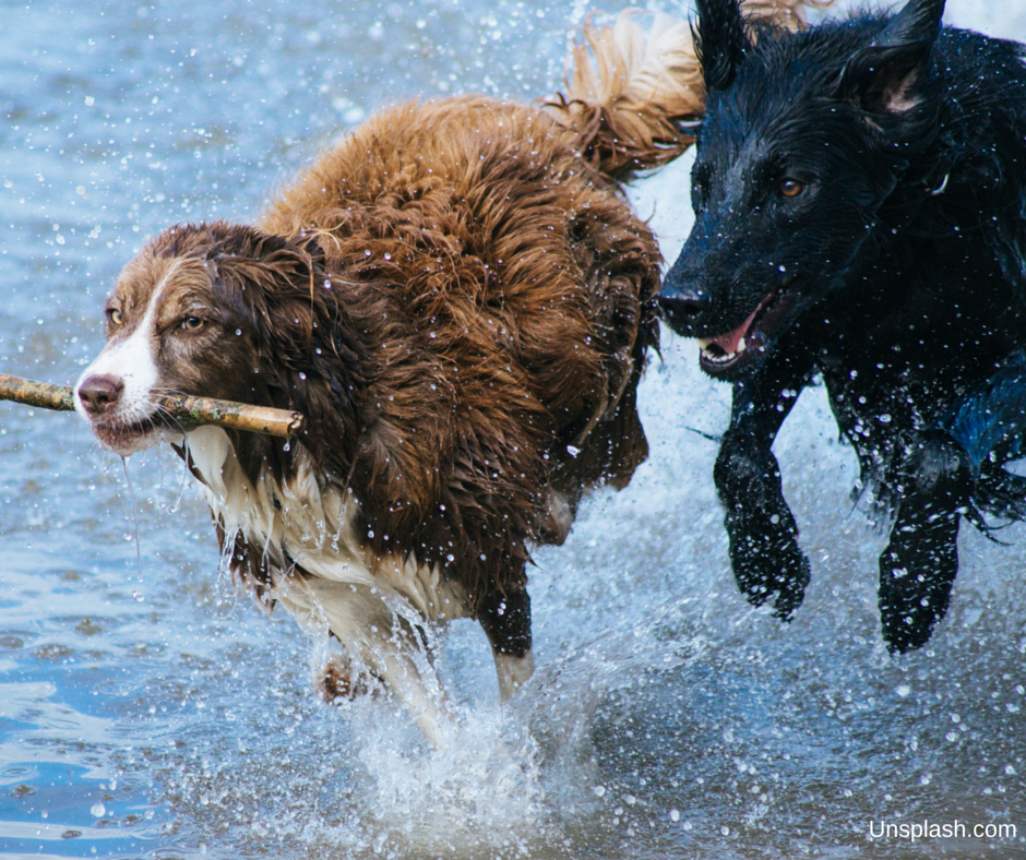 A+FREE Unsplash.com dogs running in water Buyersagent.com Buyer's Edge Real Estate DC, MD, VA.png