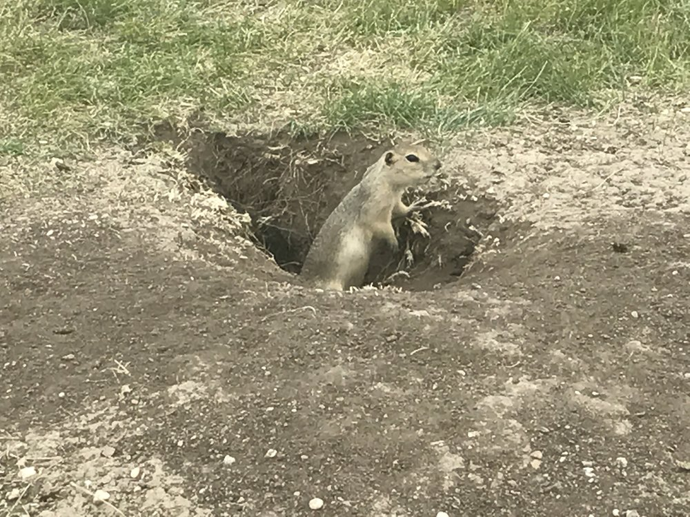 Prairie dogs at lunch