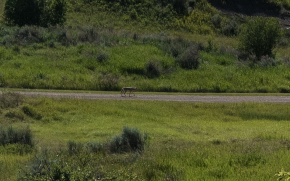 Wyle E. Coyote just walking down the road