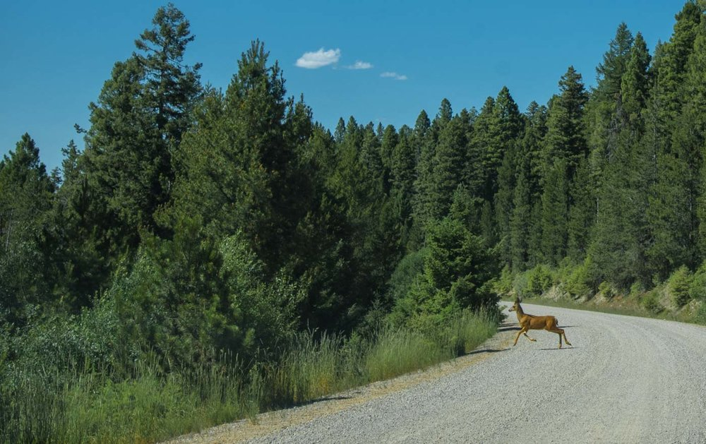 deer on the dirt road