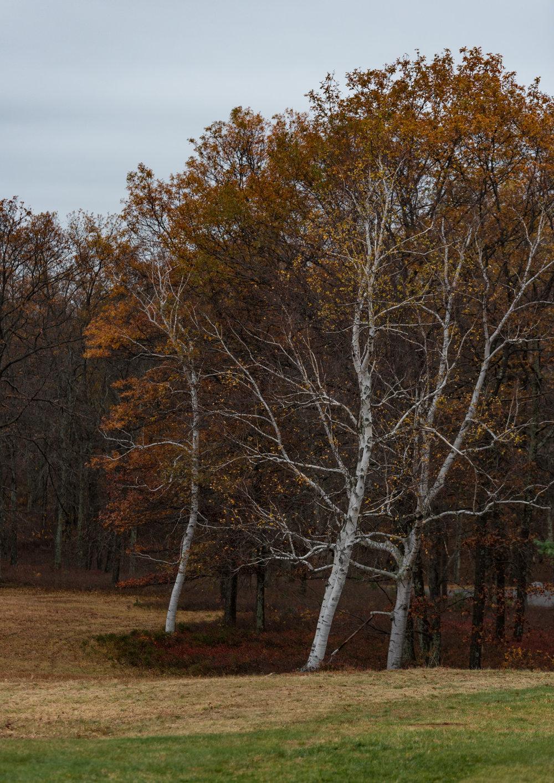 Birch across the way