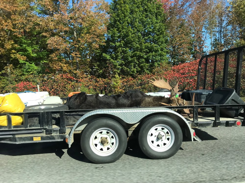 We saw this dead moose along the highway. . .somewhere in Maine.