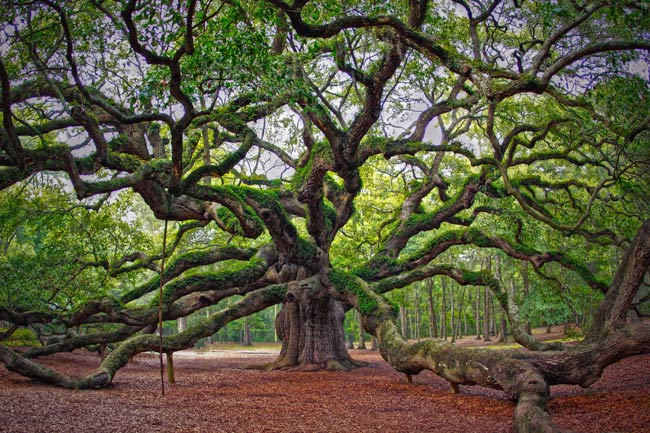 angel-oak-live-oak.jpg