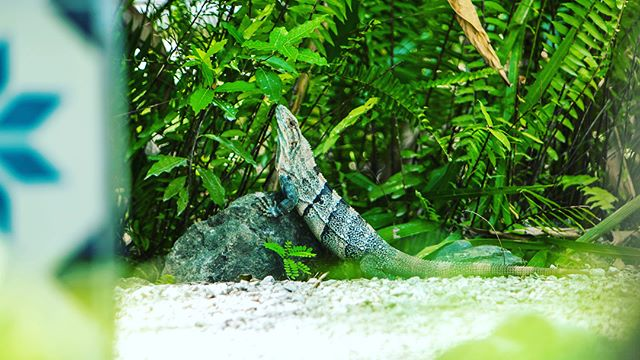 Meet our resident iguana, Guapo.  Likes- meditative sun baths, bugs, chillin' on roofs Dislikes- Overcast weather, loud noises, rude people. . . . #stayboheme #bohemenosara #nosara #costarica #puravida #boheme #surfing #surfmore #surftheearth #yoga #wanderlust #travel #adventureseeker #goexplore #getafterit  #getoutside #getoutthere #luxuryhotels #besthotels #maderaslife #travelgram #vacation #liveyourlife #visitcostarica #whatreallymatters @travelandleisure @passionpassport @elcaminotravel @cntraveler @visit_costarica