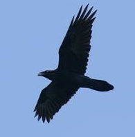 Raven or crow?