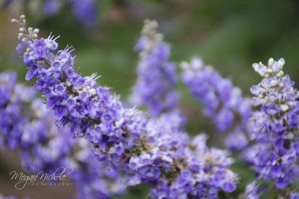 purple flowers boone hall plantation garden