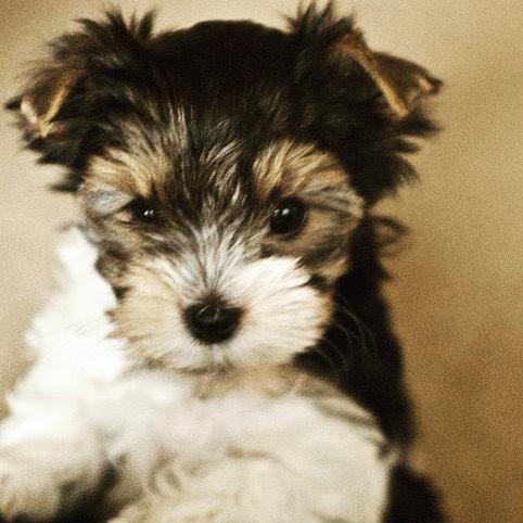Sometimes, the littlest thing will steal your heart. ❤️ #biewerterrier #pippa #puppylove #doggydaycare  #dogsofinstagram #germanbiewer #puppy #toyterrier #tinydogs #myheart
