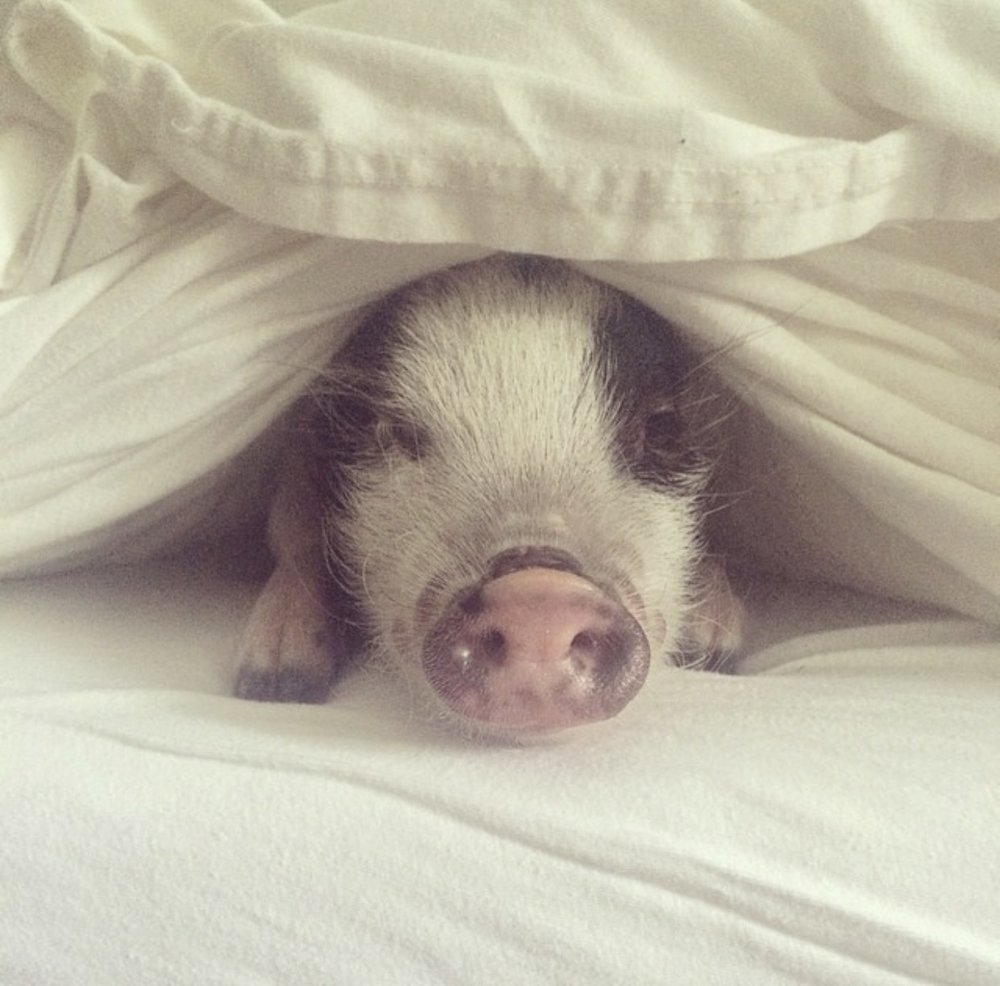 Emily's pet pig, Ella