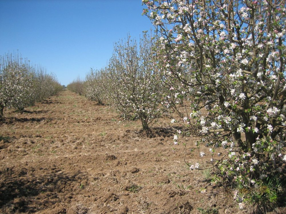 fallow orchard.jpg