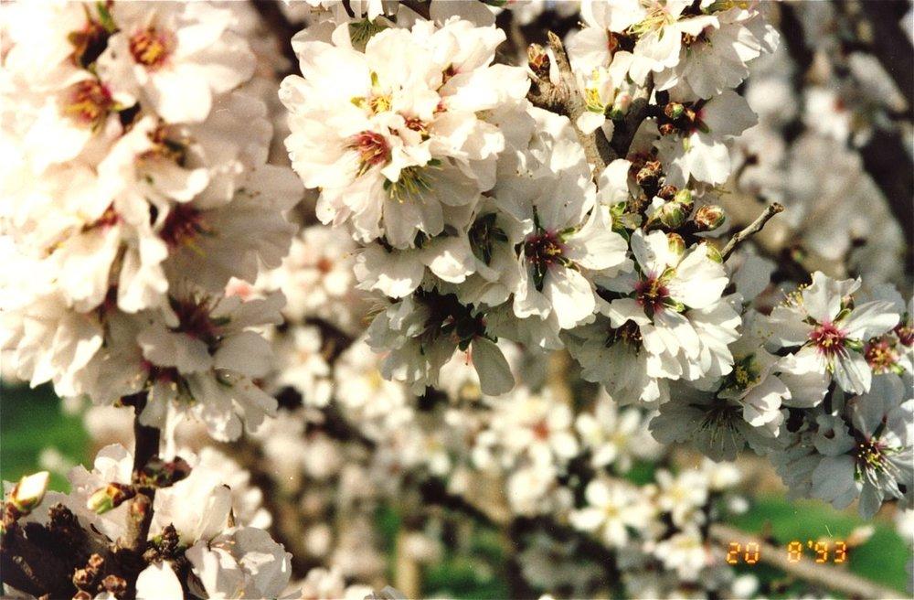 Almonds 3.jpg