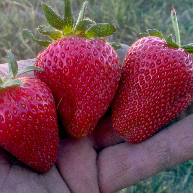 Some of our better strawberries